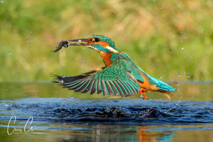 Kingfisher - wildlife photographer Chris Chambers