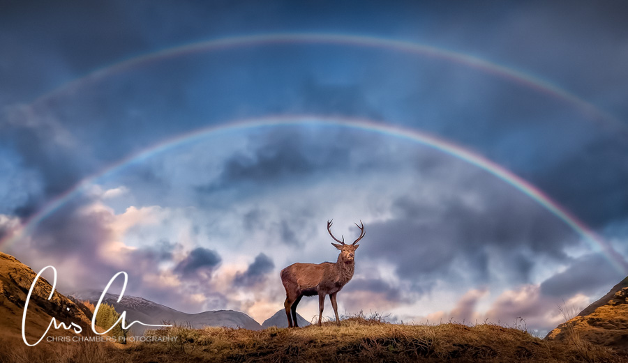 Stag under a double rainbow in Glencoe. Award-winning-wildlife-photograph